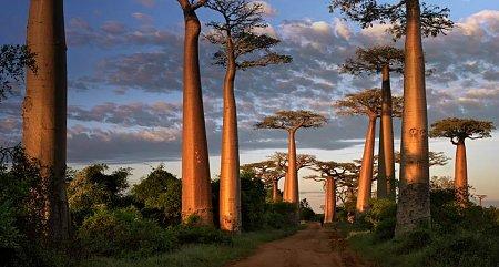 Kattints a képre a nagyításhoz  Cím:  Madagaszkár - Majomkenyérfa.jpg Megnézték: 7633 Méret:  81,4 KB Azonosító:  1130