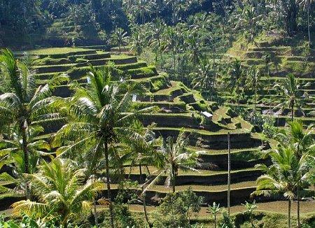 indonezia-rizsueltetveny.jpg