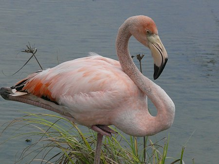 ecuador-es-galapagos-szigetek-flamingo-2.jpg